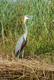 Heron, Lake Chamo, Ethiopia, Africa Stock Photography