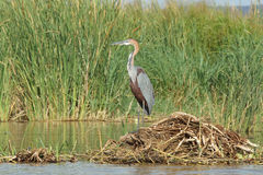 Heron, Lake Chamo, Ethiopia, Africa Stock Photos