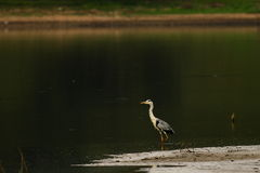 A heron Royalty Free Stock Photos