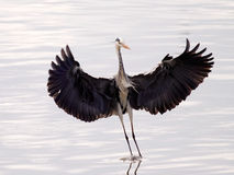 Heron landing Royalty Free Stock Images