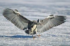 Heron landing on the frozen lake Stock Photo