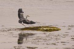 Heron landing. On the rock Royalty Free Stock Photos