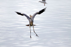 Heron landing Stock Photo
