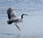 Heron lands in shallows Stock Photo