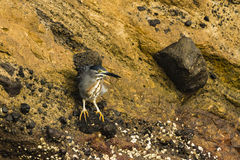 A Heron on a lava rock Stock Image