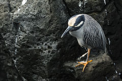 A Heron on a lava rock Royalty Free Stock Photo