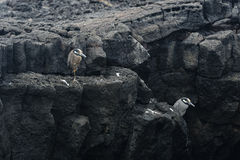 A Heron on a lava rock Royalty Free Stock Image