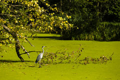 Heron , leaves and green water Stock Image