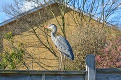 Heron licking his beak on garden fence stock image