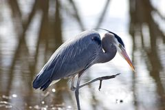 Heron lifts leg. Royalty Free Stock Photo