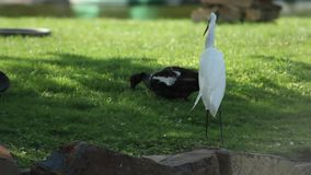 A white heron eating a yummy fish. The heron like to eat yummy fishes while ducks search for seeds stock video
