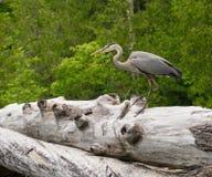 Heron on a log Stock Image