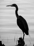 Heron on Log-Silhouette. Heron standing on log in water, black and white, silhouette Stock Photography