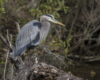 Heron on Log. Heron standing on a log in the bayous of Louisiana Royalty Free Stock Photography