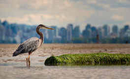 Heron With Log And Vancouver Skyline Stock Image