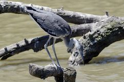 Heron looking at fishes Stock Photos
