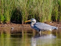 Heron looking for food Stock Image