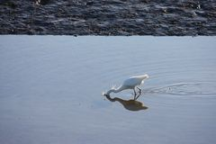 A heron looking for food in a pool of water Royalty Free Stock Photography