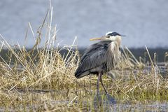 Heron looks back the other way royalty free stock image