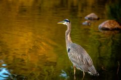 Heron looks at forward royalty free stock images