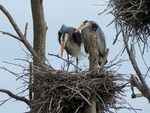 Heron Love. A great blue heron couple during the early summer courtship set upon building their nest in a heron rookery in northern Minnesota Stock Images