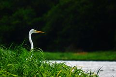 Heron lurking fish royalty free stock photo