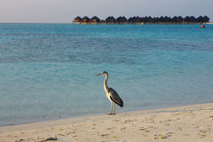 Heron on Maldives Royalty Free Stock Photography
