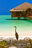 Heron on Maldives beach Stock Image