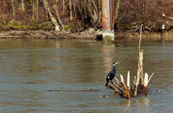 Heron in  Marne river Royalty Free Stock Image