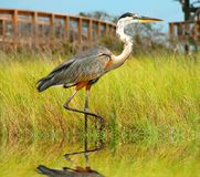 Heron in Marsh Royalty Free Stock Image