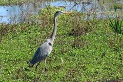 Heron at Circle B Reserve Park stock images