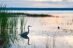 Heron in a marsh Royalty Free Stock Photo