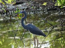 heron in the marsh stock images