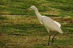 Heron in the meadow looking for food royalty free stock photography