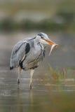 Heron med fisken Fågel med låset Fågeln bevattnar in Grey Heron cinerea Ardea, suddigt gräs i bakgrund Häger i skogsjön Royaltyfri Bild