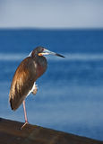Heron in the morning sun Royalty Free Stock Photography