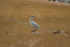 Heron on a muddy field Stock Images