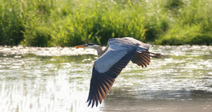Heron in nature Stock Photography