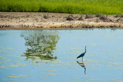 Heron in nature reserve of Vendicari in Sicily. A couple of herons in the water of nature reserve of Vendicari in south-eastern Sicily with tree reflection Royalty Free Stock Image