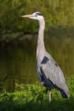 Heron near a creek Stock Photos