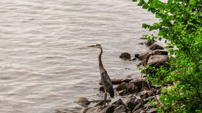A heron near water Royalty Free Stock Image