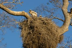 Heron nest with chick in Brazilian Pantanal Royalty Free Stock Photography