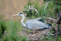 Heron nest. The heron incubates its eggs in the nest on pine tree. Scientific name: Ardea cinerea Royalty Free Stock Photo