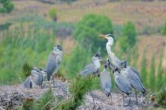 Heron nest royalty free stock photos