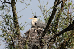 Heron in the nest Royalty Free Stock Image