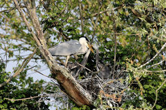Heron in the nest Royalty Free Stock Images