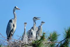 Heron nest. The heron and its babys stand in nest on pine tree. Scientific name: Ardea cinerea Royalty Free Stock Images