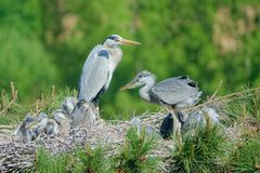 Heron nest. The heron and its babys stand in nest on pine tree. Scientific name: Ardea cinerea Royalty Free Stock Photography
