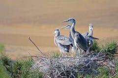 Heron nest. The heron nestlings stand in nest. Scientific name: Ardea cinerea Stock Photo