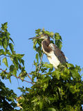 Heron nestled in tree. Royalty Free Stock Photo